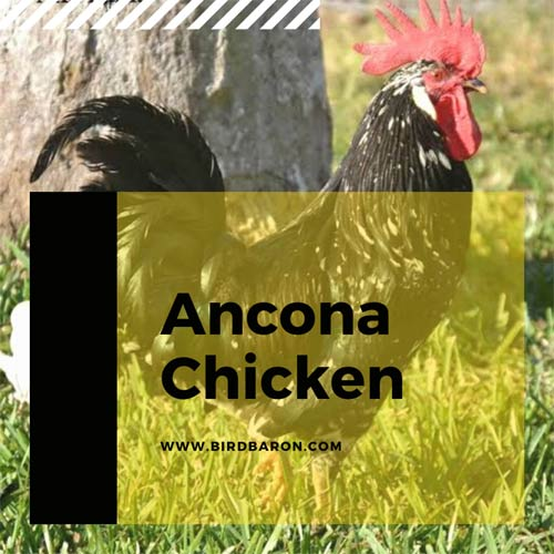 Ancona Chicken Size For Sale Breed Eggs