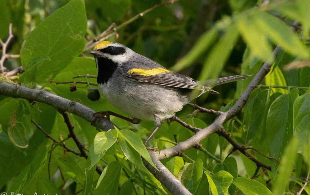 Golden-Winged Warbler – Profile | Facts | Habitat | Range | Traits