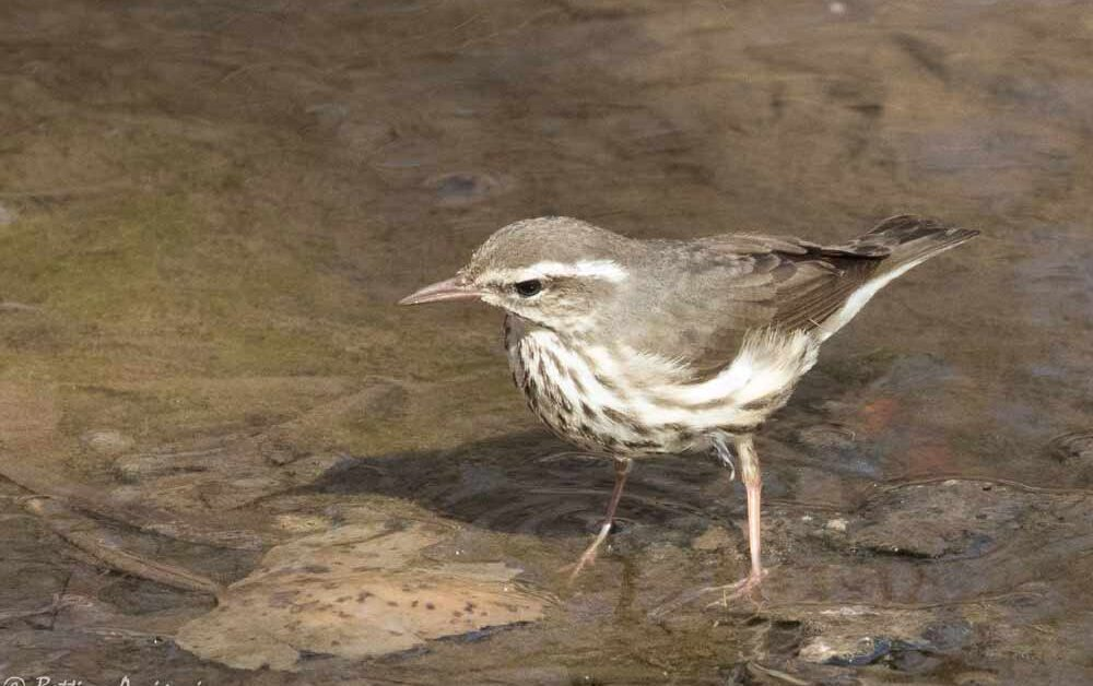Louisiana Waterthrush – Profile | Facts | Song | Traits | Range
